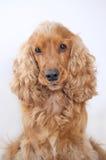 Портрет собаки spaniel кокерспаниеля стоковое фото rf