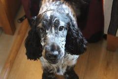 Портрет собаки (Spaniel кокерспаниеля) Стоковые Изображения