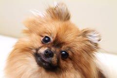 Портрет собаки Spitz Стоковая Фотография