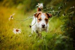 Портрет собаки terrier russell jack Стоковые Фотографии RF