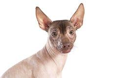 Портрет собаки xoloitzcuintle, белой предпосылки стоковое фото