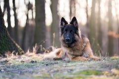 Портрет солнца утра собаки немецкой овчарки весной стоковое фото rf