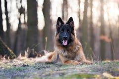 Портрет солнца утра собаки немецкой овчарки весной стоковое изображение rf