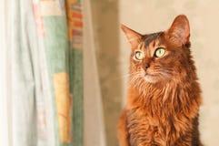 Портрет сомалийского кота сидя Стоковое фото RF