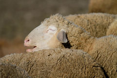 Портрет сонных овец Стоковые Фотографии RF