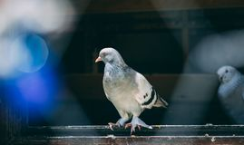 Портрет специфического голубя в клетке стоковое фото