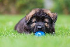 Портрет старого щенка немецкой овчарки с шариком стоковое фото rf