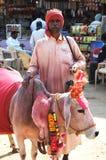 Портрет старого rajasthani Sadhu, бродяжничая индусского монах с святейшей коровой, Индией Стоковое фото RF