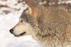 Портрет стороны волка тимберса Стоковые Изображения