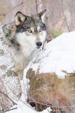 Портрет стороны волка тимберса Стоковая Фотография