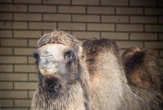 Портрет стороны головы верблюда dromadery смотря камеру Стоковые Фотографии RF