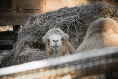 Портрет стороны головы верблюда dromadery смотря камеру Стоковое Изображение