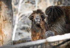 Портрет стороны головы верблюда dromadery смотря камеру Стоковые Изображения RF