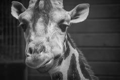 Портрет стороны головы жирафа смотря камеру Стоковые Фотографии RF