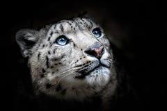 Портрет стороны снежного барса - Irbis стоковое изображение