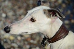 Портрет стороны собаки Galgo стоковая фотография rf