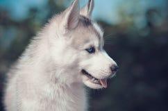 Портрет стороны щенка голубых глазов Сибирское сиплое чистоплеменное серое и стоковая фотография rf