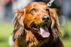 Портрет стороны щенка Spaniel со своим ртом открытым стоковое изображение
