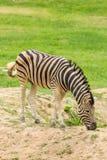 Портрет странной зебры Стоковое Фото