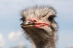 Портрет страуса в солнечном дне Стоковая Фотография