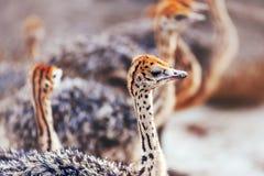 Портрет страуса младенца стоковая фотография rf