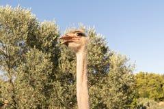 Портрет страуса смешной против тройников и голубого неба Стоковая Фотография RF