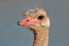 портрет страуса Стоковое фото RF