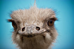 портрет страуса Стоковое Изображение RF