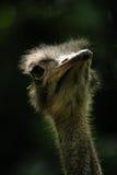 портрет страуса Стоковые Фотографии RF