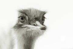 Портрет страуса Стоковые Фото