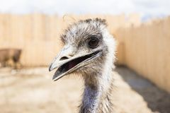 1 портрет страуса Стоковое Изображение