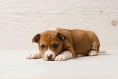 Портрет студии милого щенка коричневого цвета basenji стоковые изображения