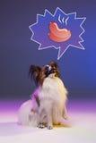 Портрет студии малого зевая щенка Papillon Стоковая Фотография RF