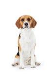 Портрет студии собаки бигля против белой предпосылки Стоковая Фотография RF