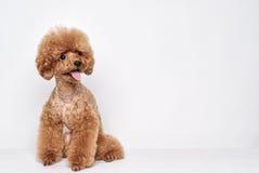 Портрет студии щенка пуделя Стоковое Изображение RF