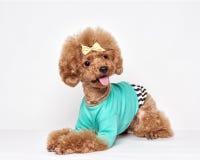 Портрет студии щенка пуделя Стоковое фото RF