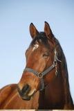 Портрет сцены славного чистоплеменного загона зимы лошади сельской Стоковое Фото