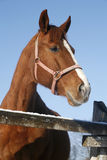 Портрет сцены славного чистоплеменного загона зимы лошади сельской Стоковые Фотографии RF