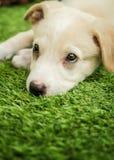 Портрет счастливого коричневого милого щенка Retriever Лабрадора стоковая фотография
