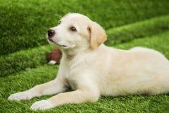 Портрет счастливого коричневого милого щенка Retriever Лабрадора стоковое фото rf