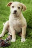 Портрет счастливого коричневого милого щенка Retriever Лабрадора стоковые изображения rf