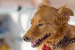 Портрет счастливой собаки внешний Стоковые Изображения