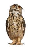 портрет сыча орла евроазиатский Стоковое Изображение