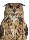 портрет сыча орла евроазиатский Стоковая Фотография RF