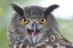 портрет сыча орла европейский Стоковое Изображение RF