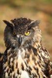 портрет сыча орла европейский Стоковые Изображения RF