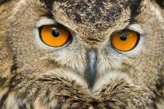 портрет сыча орла Стоковое Фото