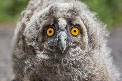 Портрет сыча птенеца длинн-ушастый, otus Австралийской службы безопасности и разведки Стоковая Фотография RF
