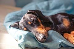 Портрет таксы породы собаки, чернит и загорает, спящ в его кровати стоковые изображения