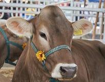 Портрет темной и коричневой коровы в уздечке Стоковое Фото